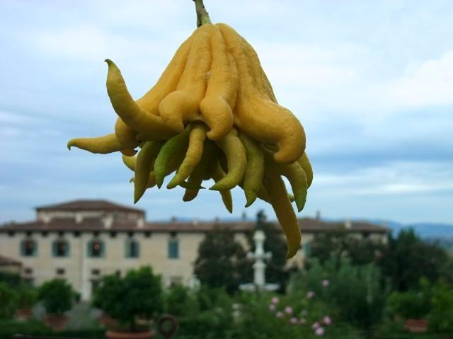 Fingered Lemon, aka Buddha's Hand