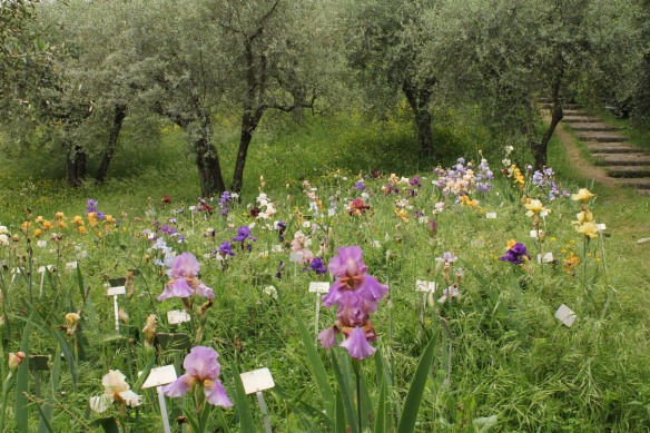 """The irises are planted in drifts under ancient olive trees -""""rustic like a simple Tuscan plot""""."""