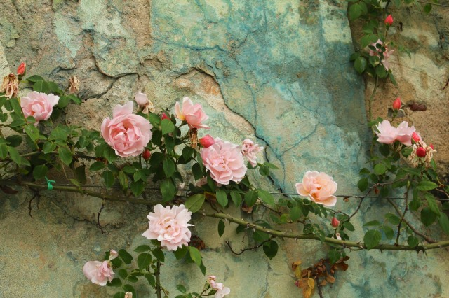 I'm not sure what they spray the roses with - and I'm not entirely sure I want to know - but I love the greenish-blue residue it leaves on ancient walls like this one.
