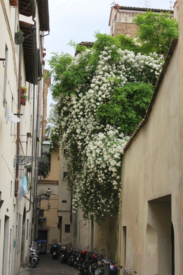 A virtual waterfall of roses cascading over a lane on the way back to Ponte Vecchio.