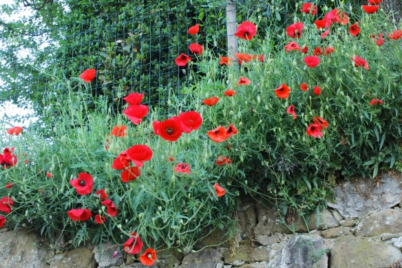 Poppies along the lane to Villa Gamberaia