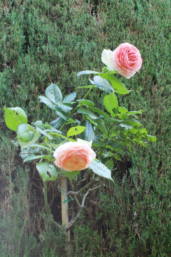 Climbing roses grow up the cypress Belvedere.