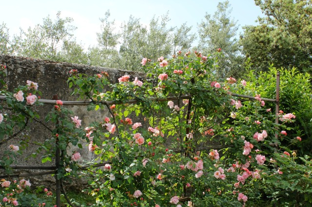 Next to the limonaia, Albertine roses flourish in the mixed perennial border planted in the 1950's.