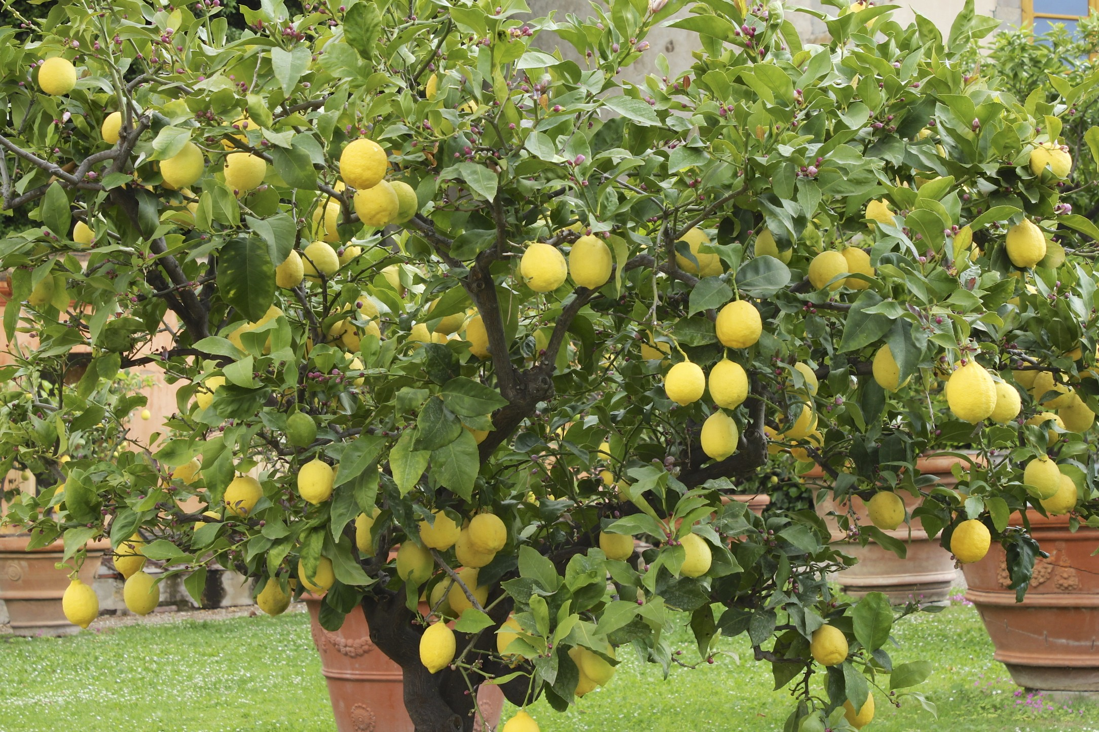 The perfect italian garden villa gamberaia ii loving for What does a lemon tree seedling look like