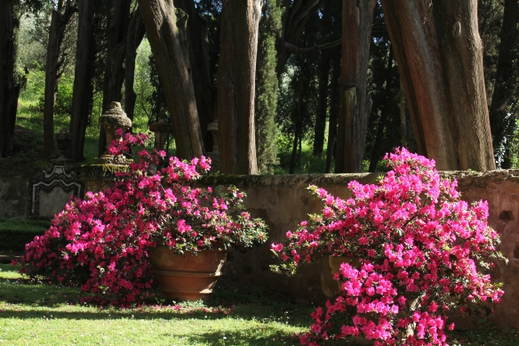 As a Canadian, I can only shake my head in wonder at all the potted azaleas?  What are they putting in that soil?