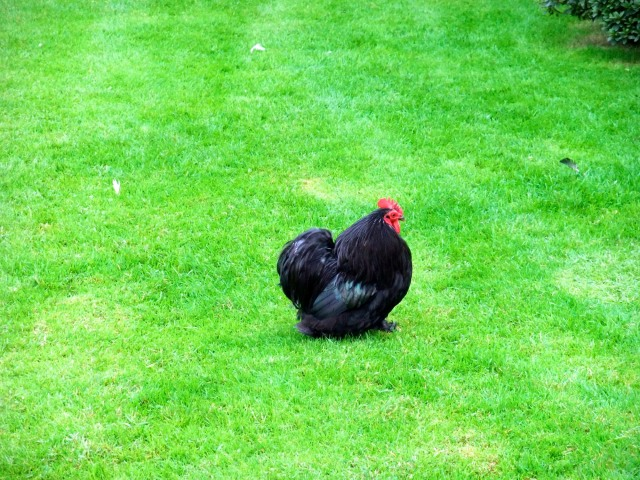 LIke all the other winged creatures on Isola Madre, this fat gallo nero waddles around in complete freedom.