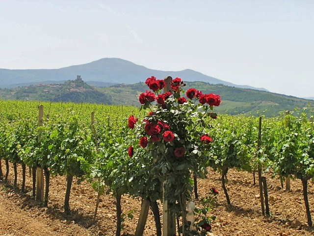 the vintner's canary in the mine; roses are susceptible to many of the same diseases that attack vitis vinifera, so first sign of disease in roses alerts the vintner to take necessary steps to protect the vines