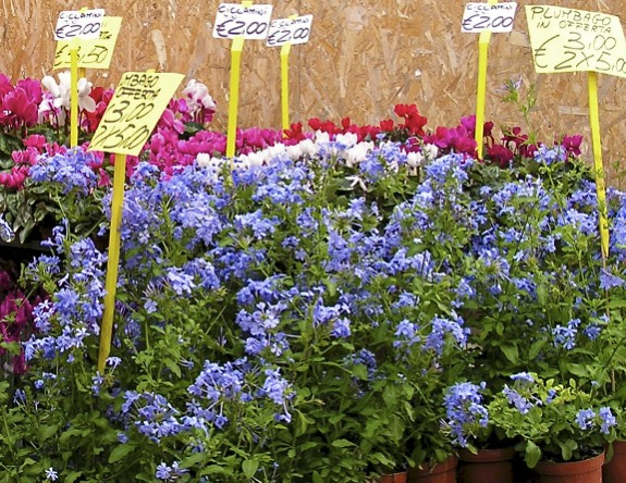 Beyond the mums, cyclamen and my favourite blue flower - plumbago.