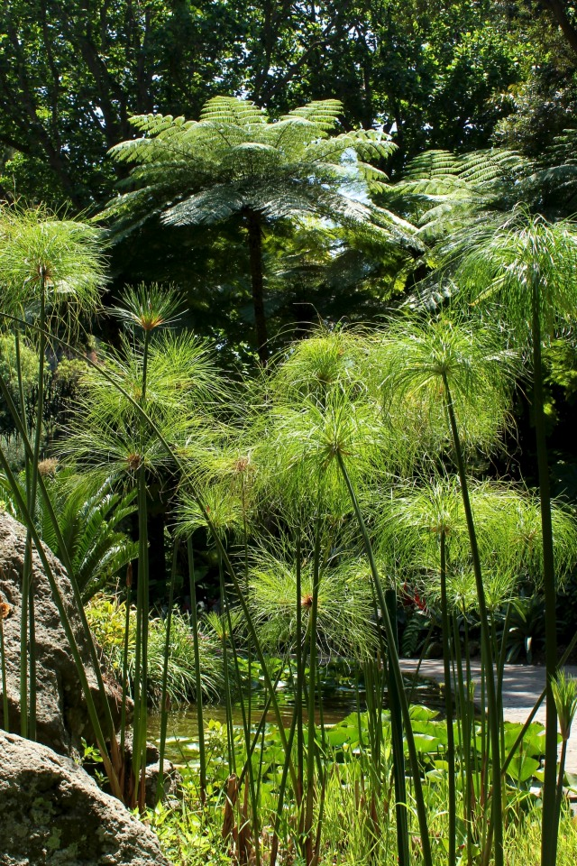 Papyrus and water lilies fill the pond surrounding the 'Big Fountain'. And beyond the pond, giant  Australian Tree Ferns