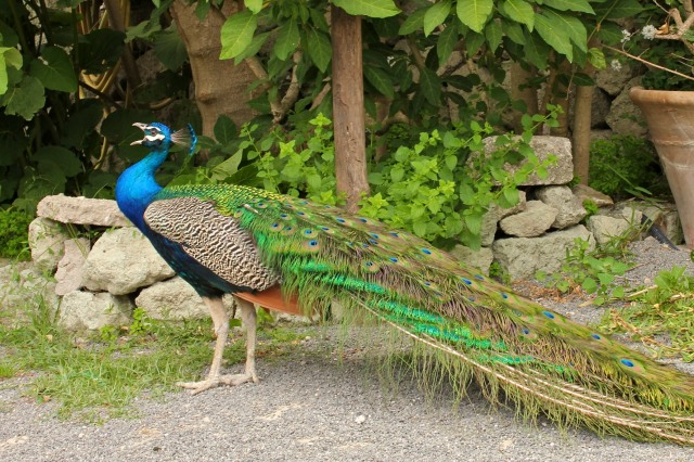 IL maschio (the male peacock) had arrived.