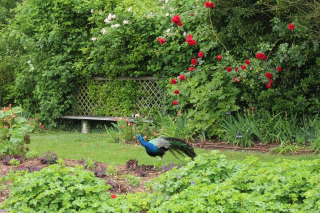 The last time I'd seen a peacock wondering around in complete freedom was at the Giardini Ravino on the island of Ischia.