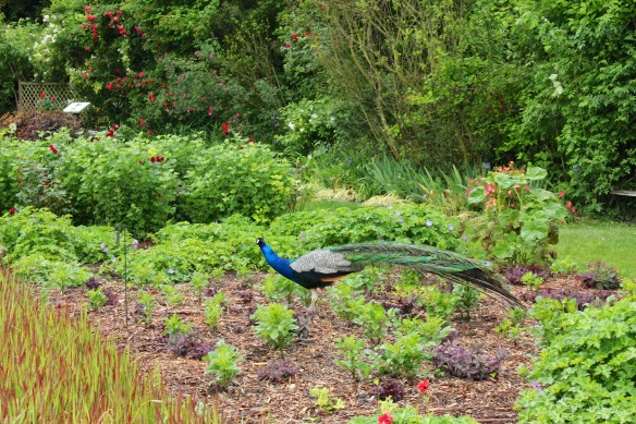 And as at Ravino, there was no concentrating on the garden while this gorgeous creature was strutting by.