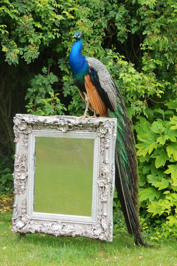 Now and then, even a peacock gets tired of admiring itself.