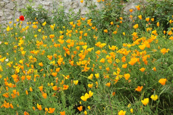I also loved the Californian poppies - the only orange flower I like -  growing along the wall.