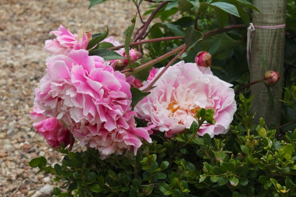 At the entrance peonies get a little help from the boxwood.