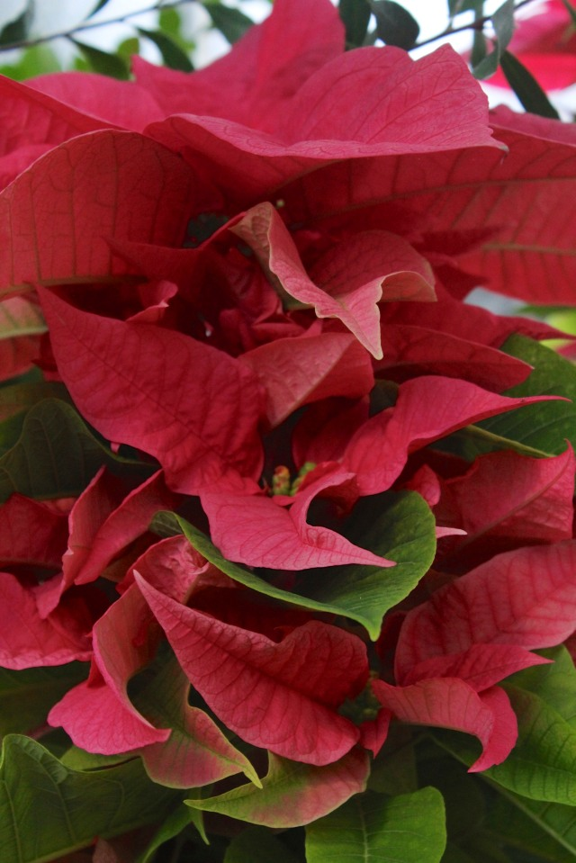 A multi-story Poinsettia.