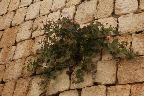 It was remarkable the way caper bushes and rock roses had taken root in the temple walls.