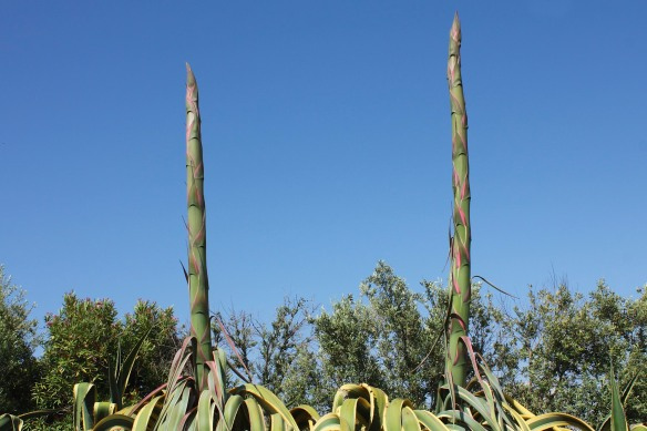 Rising out of the tangled mess of leaves, the giant asparagus-like spears of the agave flower.